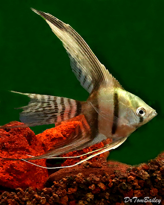Premium Half-Black Veiltail Angelfish