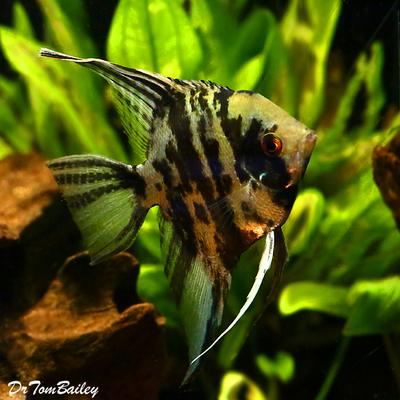 Premium Jumbo Marbled Angelfish