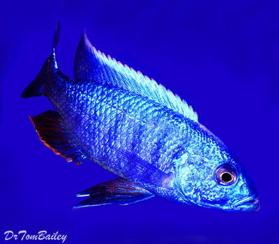 Premium MALE Lake Malawi Electric Blue Hap