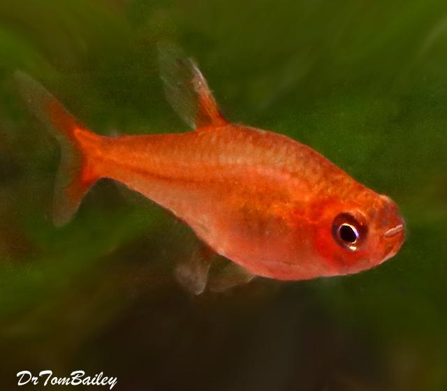 Premium Ember's Tetra, Nano Fish