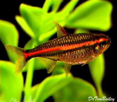Premium Glowlight Tetra, Nano Fish