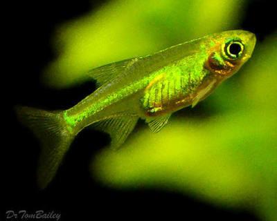 Premium Rare Neon Green Rasbora, Nano Fish