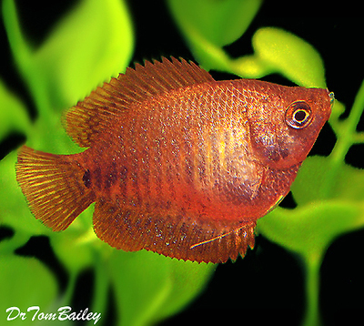 Premium FEMALE Young Fire Red Dwarf Gourami