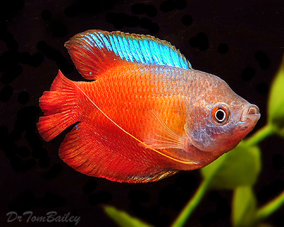 Premium Young MALE Fire Red Dwarf Gourami