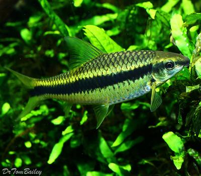Premium Siamese Algae Eater, Crossocheilus atrilimes