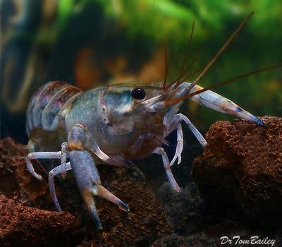 Premium Freshwater Australian Yabbie Lobster