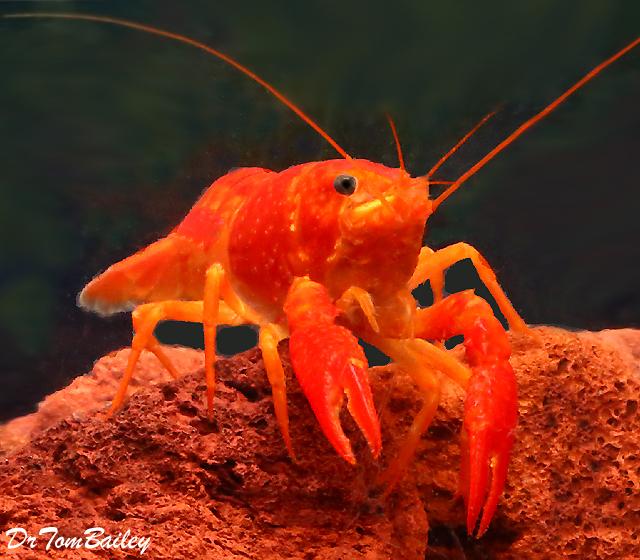 Premium Rare Neon Red Crayfish