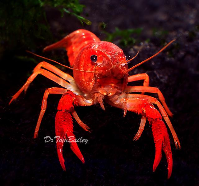 Premium Freshwater Red Crayfish