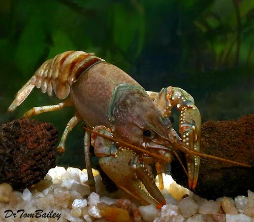 Premium Freshwater Crayfish