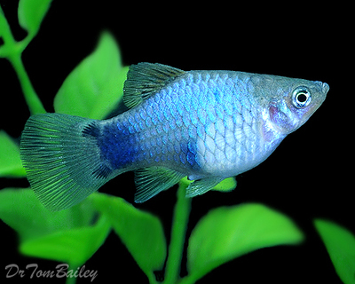 Premium Blue Mickey Mouse Platy