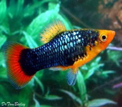 Premium Red Tail Black Variatus Platy