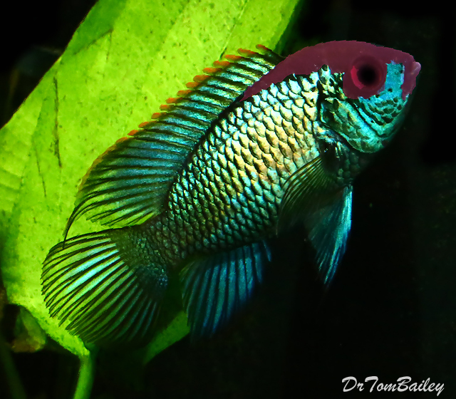 Premium Rare Metallic Blue Acara Cichlid, Also called Electric Blue Acara