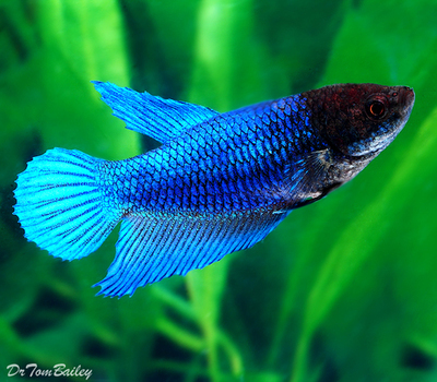 Premium FEMALE Blue Betta Fish