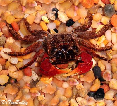 Premium Red Claw Crab
