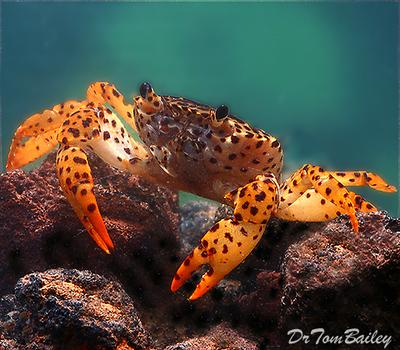 Premium Freshwater Panther Crab