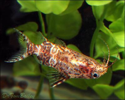Premium WILD, Upside Down Catfish, Synodontis Nigriventris