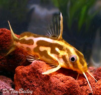Premium Rare Synodontis Flavitaeniatus Catfish