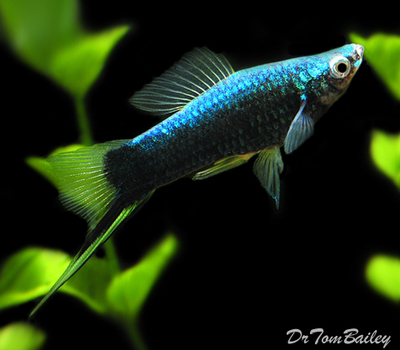 Premium Black Swordtail
