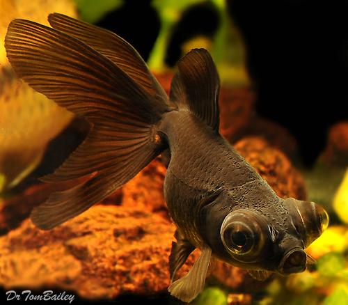 Premium Black Moor Goldfish