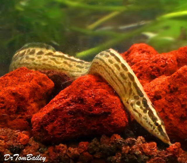 Premium Freshwater Tiretrack Eel