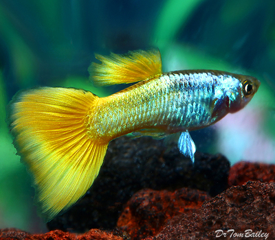 Premium MALE Sunrise Fancy Guppy