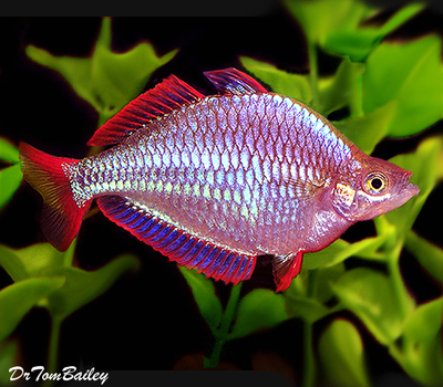 Premium Neon Dwarf Rainbowfish