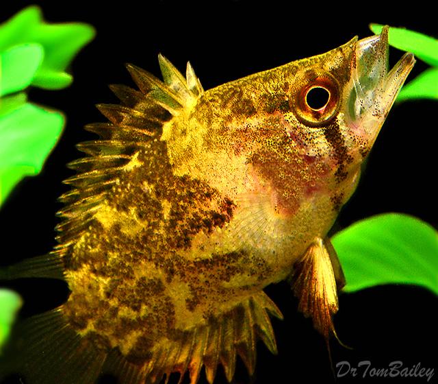 Premium African Leaf Fish