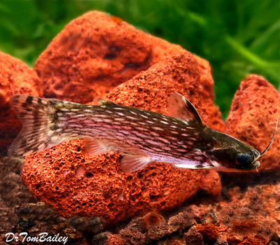 Premium Milky Way Wood Catfish, Tatia galaxias