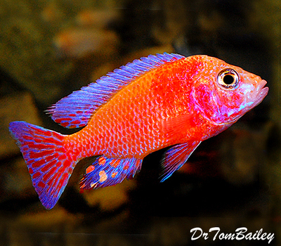 Premium Lake Malawi Strawberry Peacock