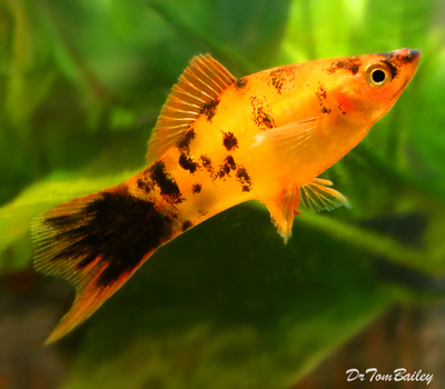 Premium Rare and New, Gold Spotted Swordtail