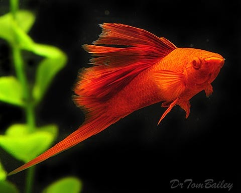 Premium MALE Rare Hifin Red-Eye Red Swordtail