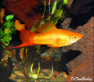 Premium Marigold Swordtail