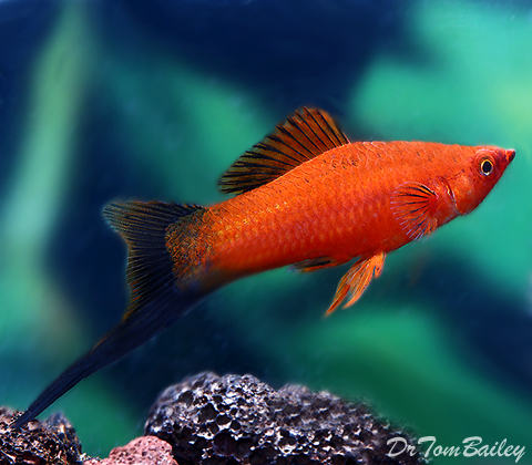 Premium MALE Red Wag Swordtail, Males Only