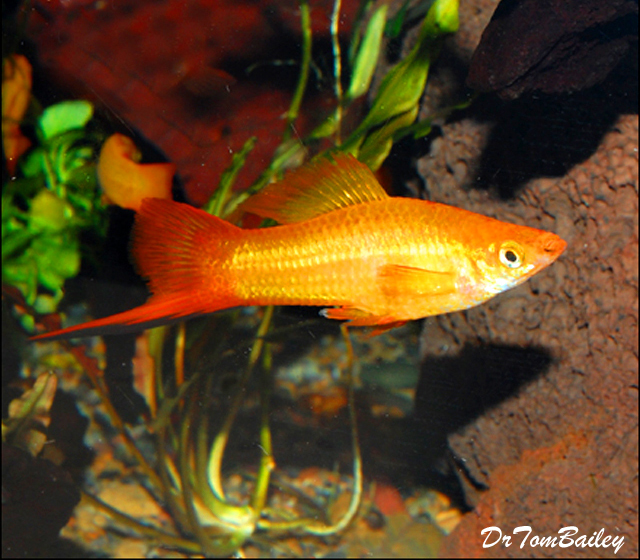 Premium MALE Marigold Swordtail, Males Only