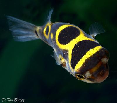 Premium Freshwater Figure Eight Pufferfish