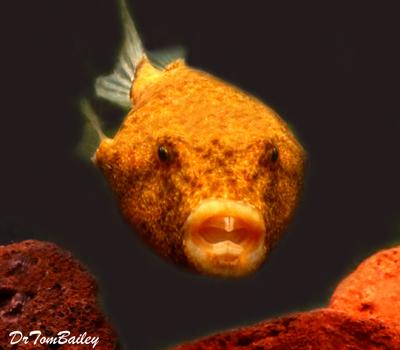 Premium Freshwater Congo Miurus Pufferfish