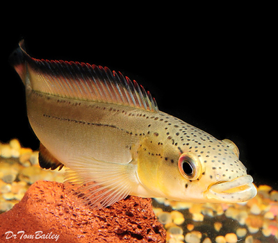 Premium Unidentified Pike Cichlid