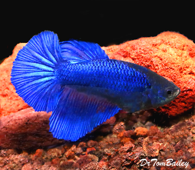 Premium FEMALE Blue Halfmoon Betta Fish