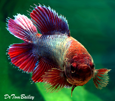 Premium FEMALE Unique Rare, Natural Twin-Tail Betta Fish