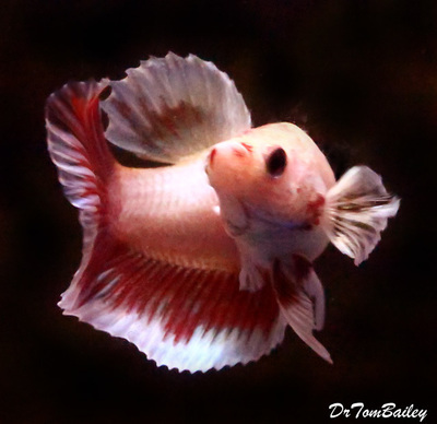 Premium FEMALE Cambodian Butterfly Halfmoon Betta Fish