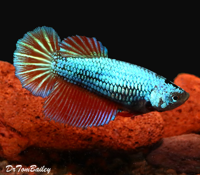 Premium FEMALE Dragonscale Halfmoon Betta Fish
