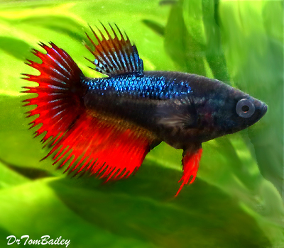 Premium FEMALE Rare Assorted Colors Unique Crowntail Betta Fish