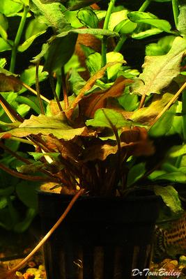 Premium Cryptocoryne Wendtii, Potted Plant