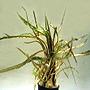 Premium Cryptocoryne Retrospiralis, Potted Plant