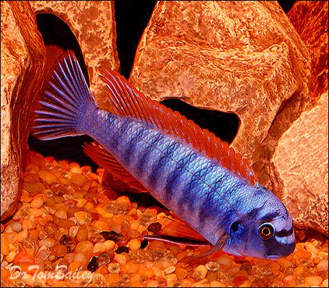 Premium Assorted Labeotropheus Trewavasae Mbuna Cichlid from Lake Malawi