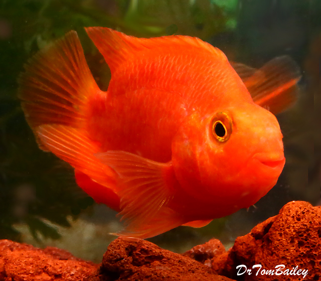 Premium Royal King Parrot Cichlid