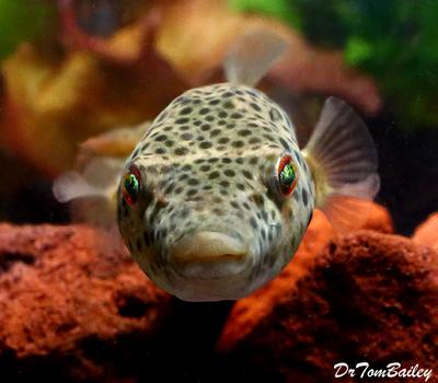 Premium Rare Freshwater Abei Pufferfish