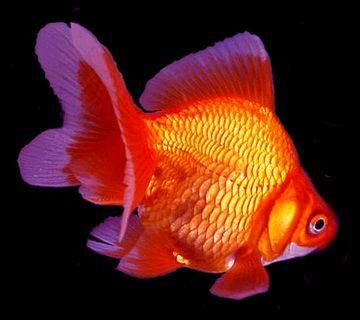 Premium Red Ryukin Goldfish