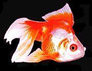 Premium Red & White Ryukin Goldfish