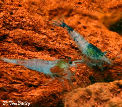 Premium Assorted Fancy Aquarium Shrimp, Nano Shrimp